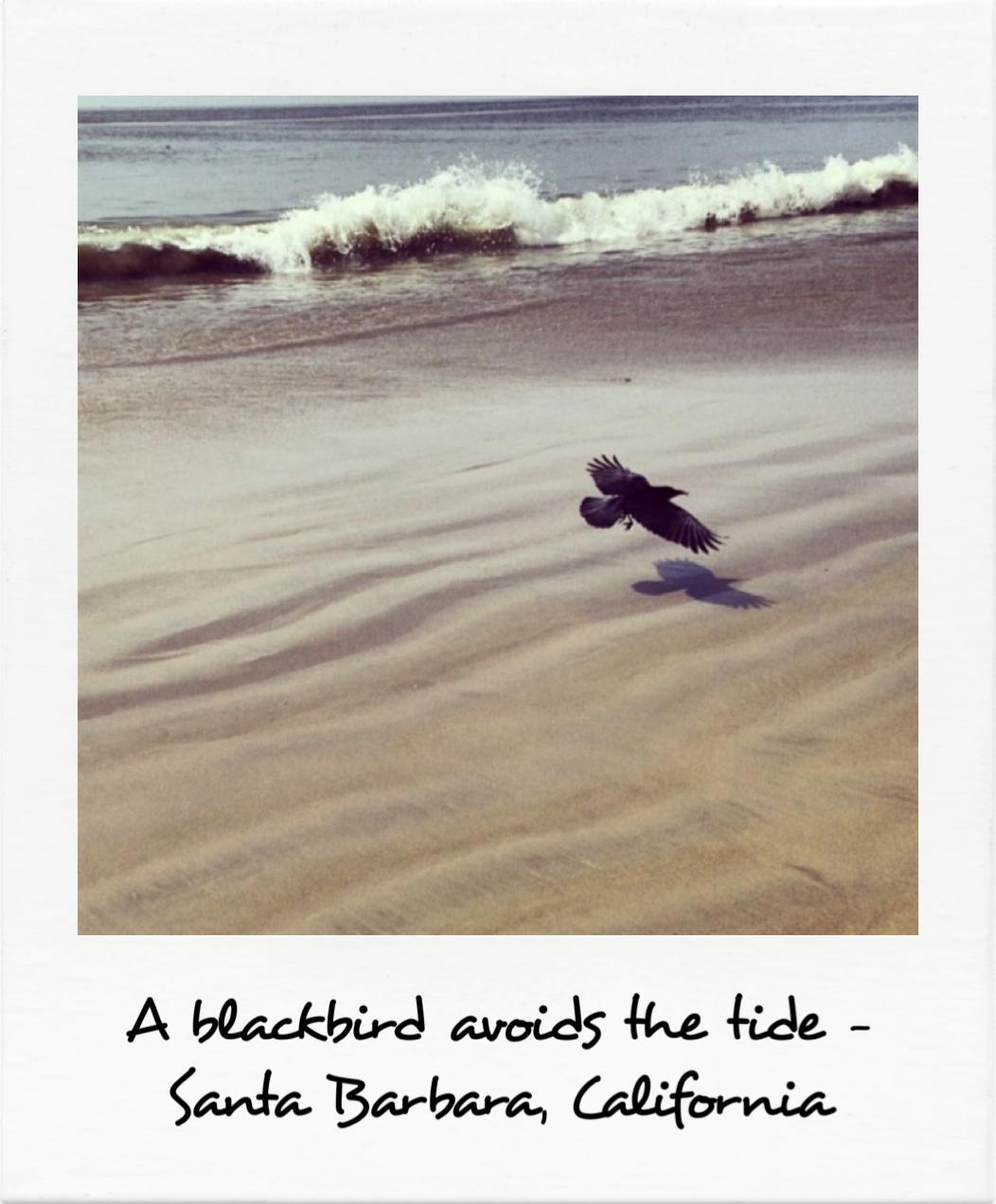 A blackbird avoids the tide - Santa Barbara, California